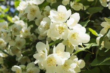 10 Benefits of Jasmine Flower