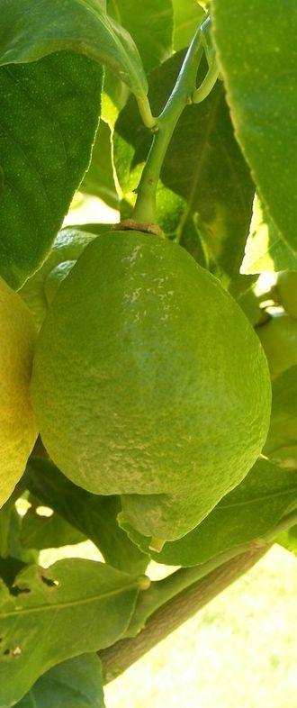 Les 25 meilleures id es de la cat gorie arbres en pots sur pinterest arbres en pots patio de - Pot pour citronnier jardiland ...