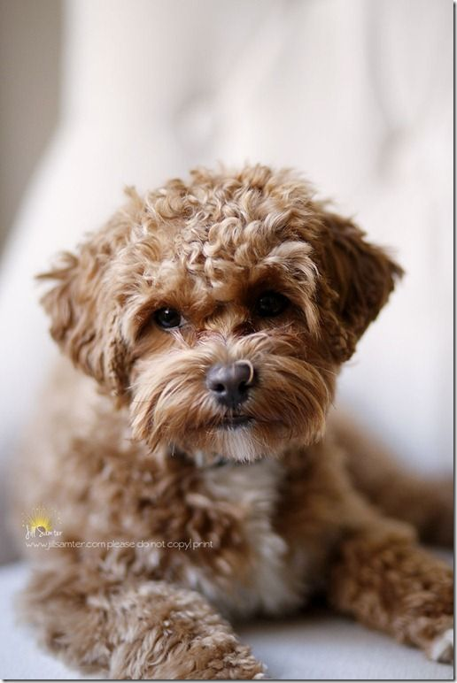 chocolate #maltipoo #dogs #cute