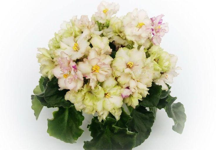 Н-Катюша (Н.Бердникова) / N-Katiusha (N.Berdnikova) Махровые цветы цвета слоновой кости с вариабельными всполохами и полосами нежно-фуксиевого или розового цвета. Волнистый лист.