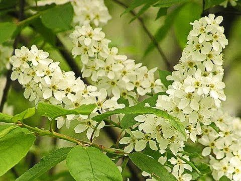 The Bird Cherry Tree  Черемуха  Padus