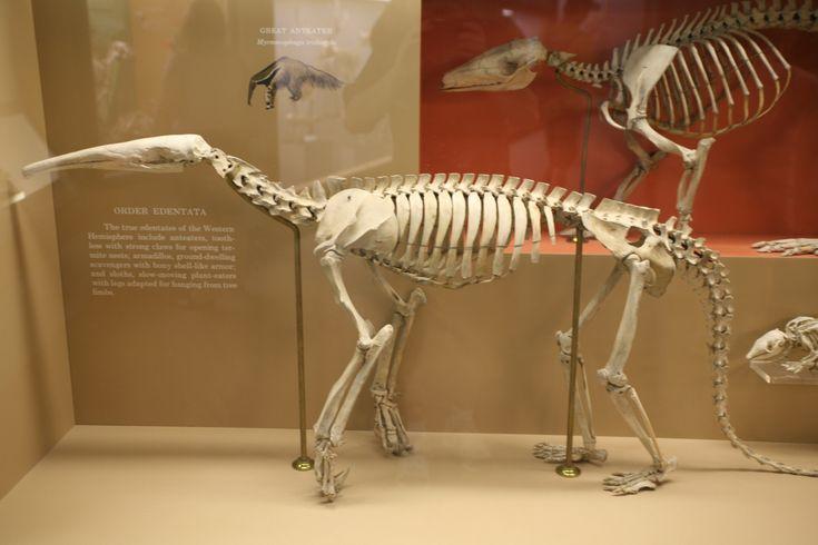 Aardvark skeleton - photo#10
