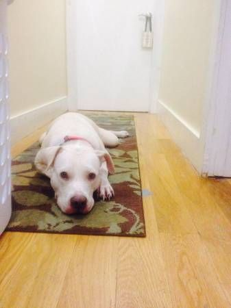 Lab/Pitbull Terrier Mix Adult • Female • Medium Brooklyn, NY House trained • Spayed • Current on vaccinations