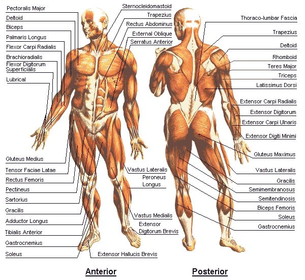 Best way to use this chart is to locate a muscle and see how it is shaped, so when it shrinks (contracts), you know what and which bone will move. Cool graph!  Muscles chart. Anterior and Posterior muscles anatomy chart. Source: thecountymedicalexaminers