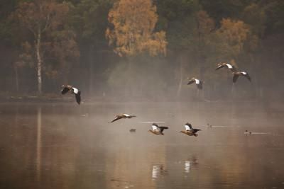 Egyptian Geese, Alopochen Aegyptiacus, Flying over Pen Ponds in Richmond Park in Autumn Photographic Print by Alex Saberi at Art.com