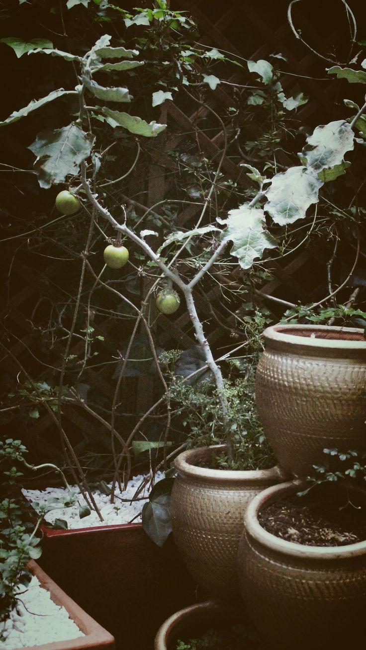 Limones nostálgicos en #SuTerceraCasa #Limones #Jardín
