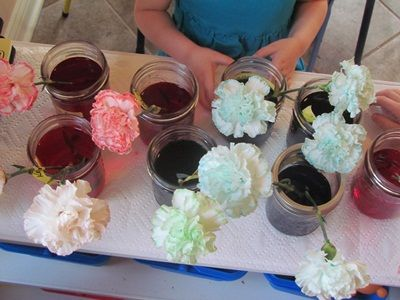 White Carnation with food coloring in the water. Good lesson on plants for the kids Via spelloutloud.com