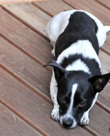 rat terrier dachshund mix