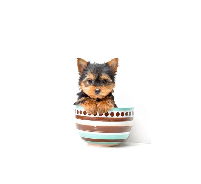 BUY our TEACUP YORKIE ROSCOE FOR SALE IN OHIO!!! 1