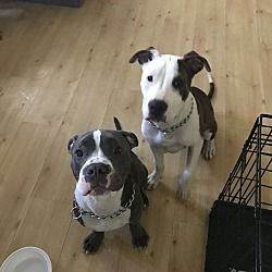 Iselin, NJ - American Pit Bull Terrier  Meet Ace a Pet for