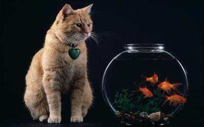 Scarica sfondi goldfish, gatto rosso, acquario