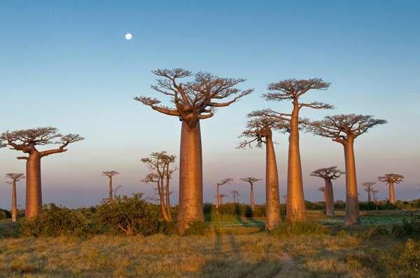 Baobab Tree, sacred tree to Africans Savannas