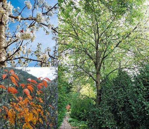 Haveselskabet  Fuglekirsebær, Prunus avium 'Plena'