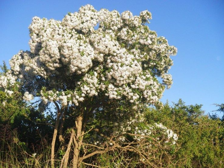 As the end of the year approaches, Pavetta makes its presence known with swathes of bright, white, sweetly scented veils decorating hedgerows and bush wherever it is found.