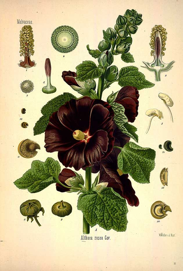 Althaea rosea Cav., (Alcea rosea L.), Hollyhock - Medicinal Botanical Plants