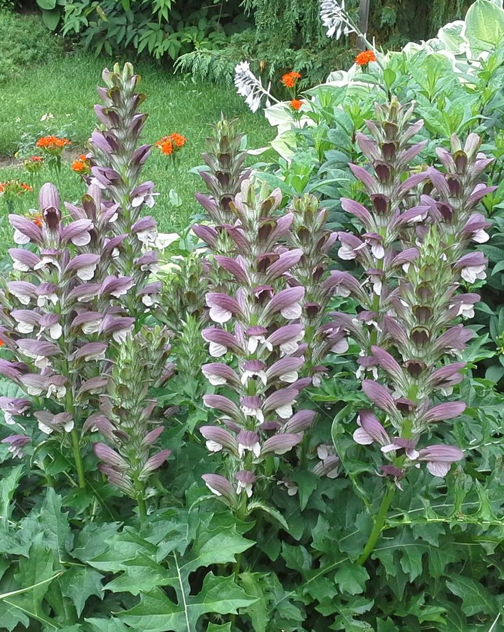 Acanthus mollis (Bear's Breeches) in bloom. Photo: Pat Johnson