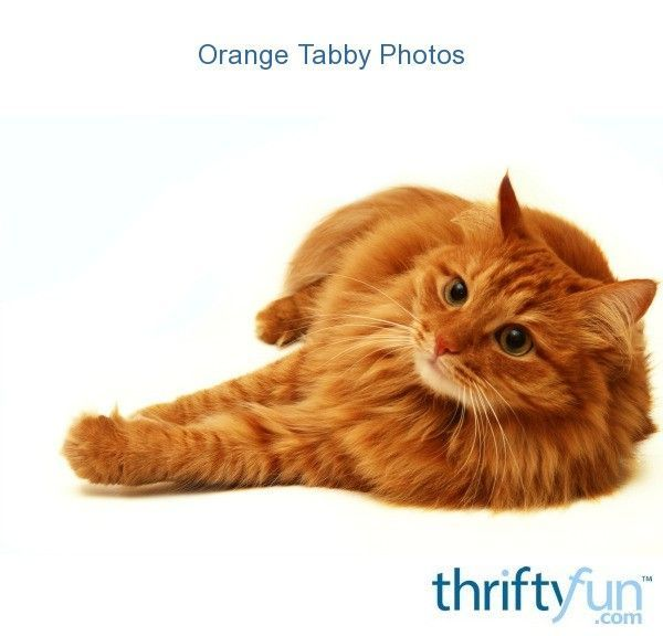Not To Be Missed Cat Ideas And Training Tips Orange Tabby Cats