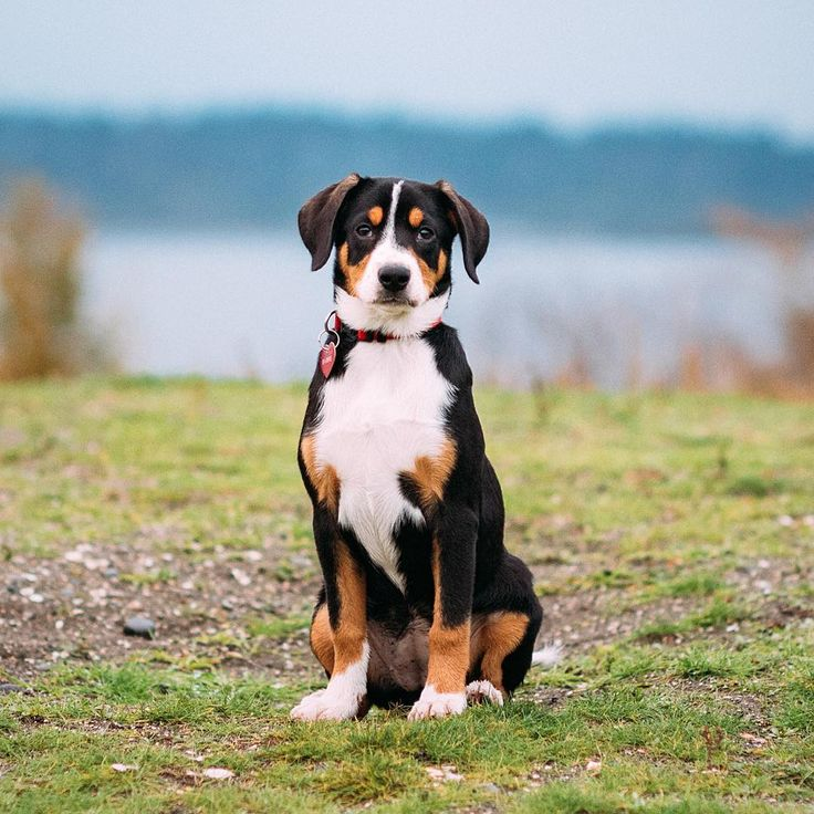 13. Entlebucher Mountain Dog  You'd be butchering the name if you said En-tull-bew-cher. These gorgeous pups are actually Ent-lay-boo-cur Mountain Dogs.