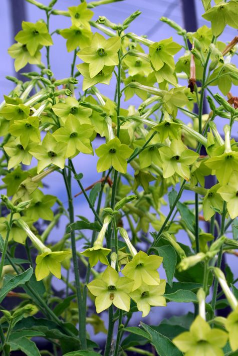 Nicotiana alata lime gardening pinterest limes and green - What is lime used for in gardening ...