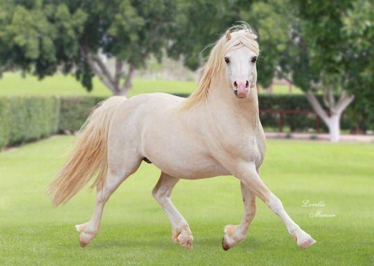 39 best welsh ponies section a b images on pinterest. Black Bedroom Furniture Sets. Home Design Ideas