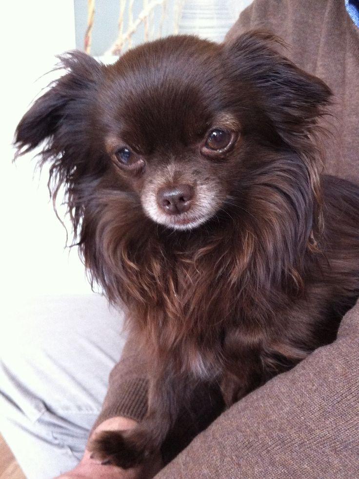 Wunderschöner Schoko Mini-Chihuahua! - Deine-Tierwelt.de