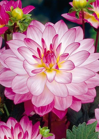 ~~Jewelry Dahlia | Waterlily Dahlia, the name Waterlily belies the appearance that the blooms of these varieties look like a floating waterlily. All of the Waterlily type dahlias are excellent cut flower producers | MEIN SCHÖNER GARTEN~~