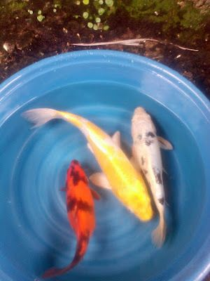 Live Koi Fish for Sale in Cebu , Goldfish for Sale in Cebu: forsale koi package deal