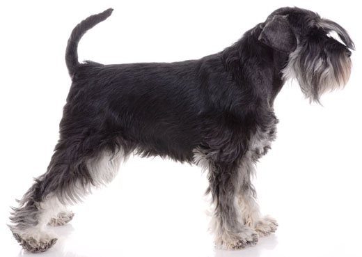 Miniature Schnauzer:   The Miniature Schnauzer has the typical terrier temperament: relentless, energetic, brave, alert, curious, scrappy, bossy, and feisty.