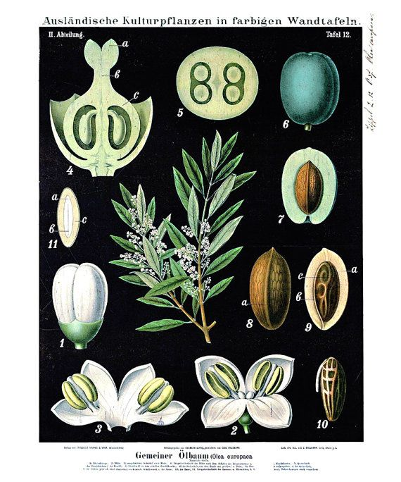 Vintage Botanical Print This print is a reproduction of a vintage botanical educational plate. Between 1876 and 1899, the German duo Zippel and