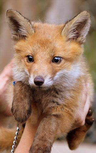 zOMG, baby fox! Foxes are def among my top ten favorite animals.