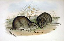 The BroadFaced Potoroo is a kangaroo-like marsupial about the size of a rabbit. Gilbert's Potoroo is Australia's most endangered animal.
