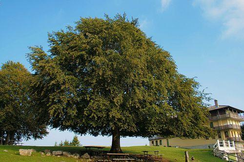 Tree at Monte Poieto