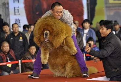 Red Tibetan Mastiff..from Tibet.  Most expensive dog in the world.  Usually sold for six figures, but one was bought by a Chinese multi-millionare for 1.5 million dollars.