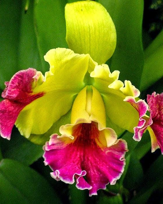 Yellow And Pink Cattleya Orchid