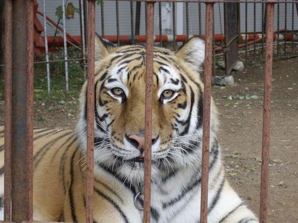 """Negli scorsi giorni è stata lanciata una petizione, indirizzata al ministro dell'Ambiente, per la chiusura dei circhi con animali. In effetti molti circhi """"internazionali"""" si pubb…"""