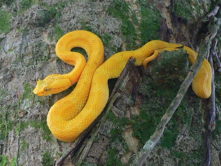 Bocaraca, poison snake in #CostaRica
