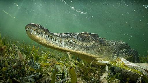 En México existen dos especies de cocodrilos y el cocodrilo americano (Crocodylus acutus) es el más grande. Llega a medir hasta siete metros. Se lo puede encontrar en la zona del Mar Caribe, el Golfo de México y el Océano Pacífico.