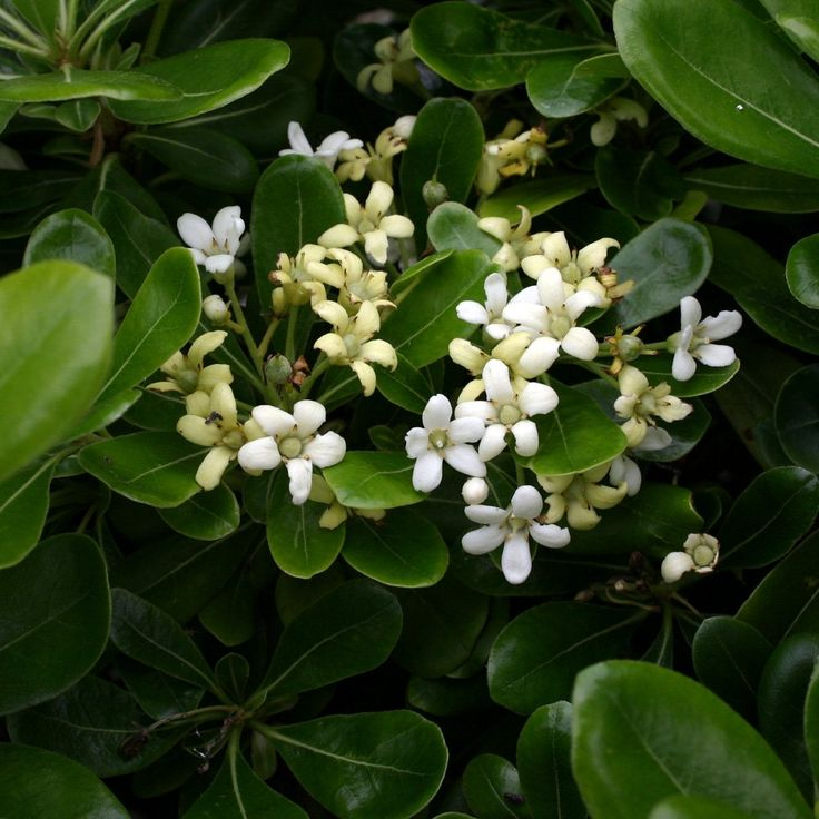 620 best images about planting on pinterest gardens for Low growing flowering shrubs