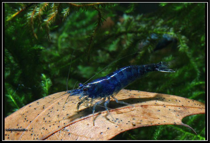 blue neocaridina heteropoda crevettes crevette eau douce et aquarium