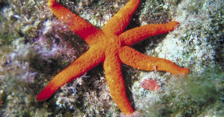 Como secar as estrelas-do-mar encontradas nas praias. Um dia na praia pode resultar na descoberta de alguns tesouros muito especiais. As estrelas-do-mar são equinodermos que vivem em todos os quatro oceanos. É possível encontrá-las em muitos tamanhos e cores diferentes. Caso se depare com uma, você pode querer preservá-la secando-a. A espécie pode então ser estudada ou colocada em exposição.