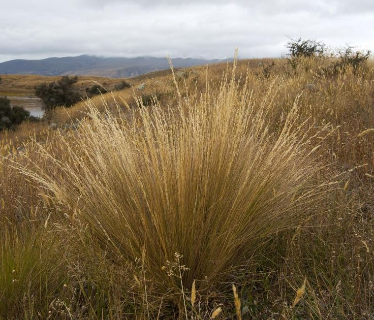 Festuca novae-zelandiae - Fescue tussock, Hard tussock, Sheep's fescue, Tawny tussock