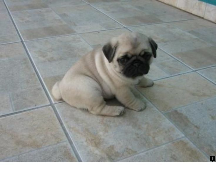 Read More About Cheap Pugs For Sale Near Me Please Click Here To