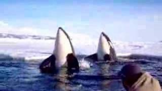 Killer whales spy hopping, via YouTube.