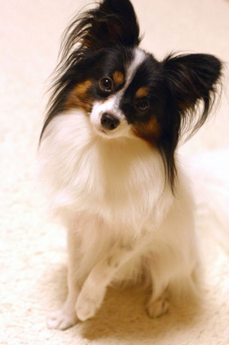 Papillon - Smartest of all the toy breeds, Alert, energetic, enthusiastic and only needs to be brushed weekly