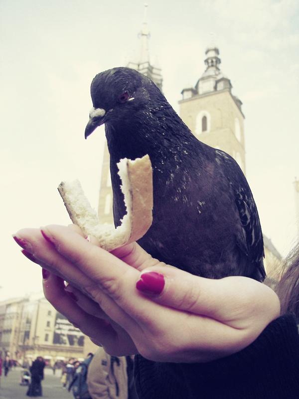 Pigeon / Krakow, Poland