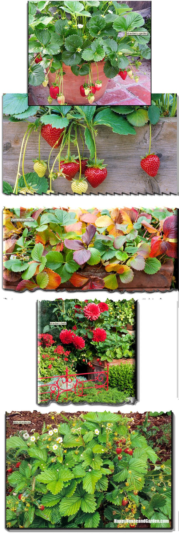 Growing Strawberries In Container Ideas From Edible
