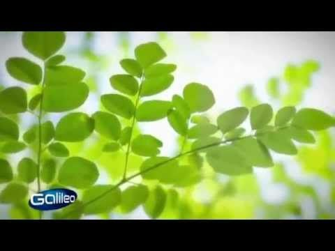 ProSieben Galileo Bericht über Moringa - Bio Moringa vom MoringaGarden T...