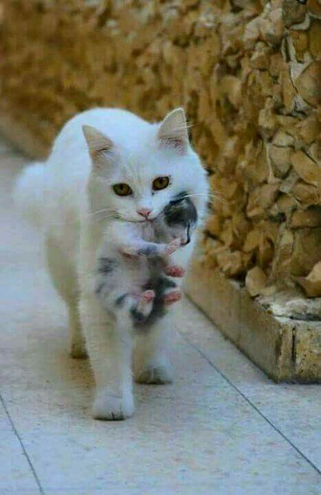 Mother cat carrying her kitten.