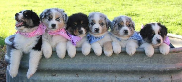 Miniature Australian Shepherd Home. - Available Puppies