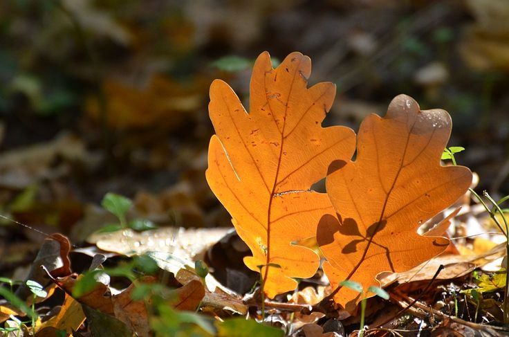 Autumn leaf color is a phenomenon that affects the normally green leaves of many deciduous trees and shrubs by which they take on, during a few weeks in the autumn season, various shades of red, yellow, purple, and brown.